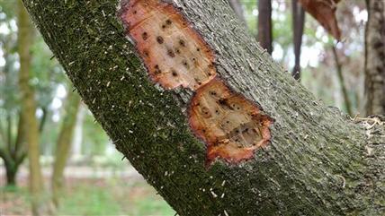 Avocado tree_150101
