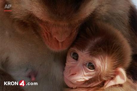 monkey_rhesus macaques_187071