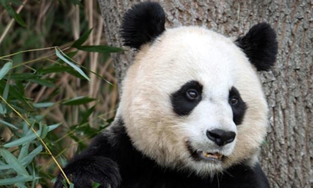 Mei-Xiang-Panda-010_216868