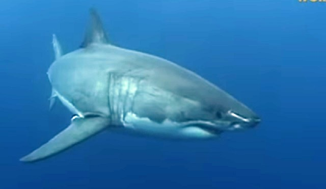 great white shark_548006