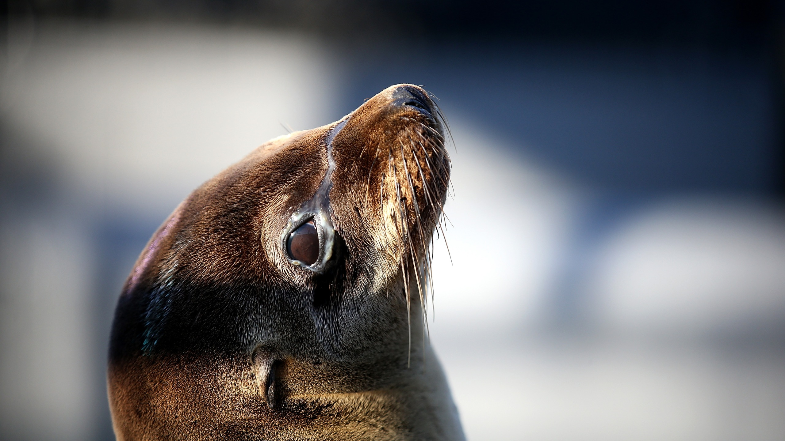 Malnourished Sea Lions Continued To Be Rescued Off California Shores_687165