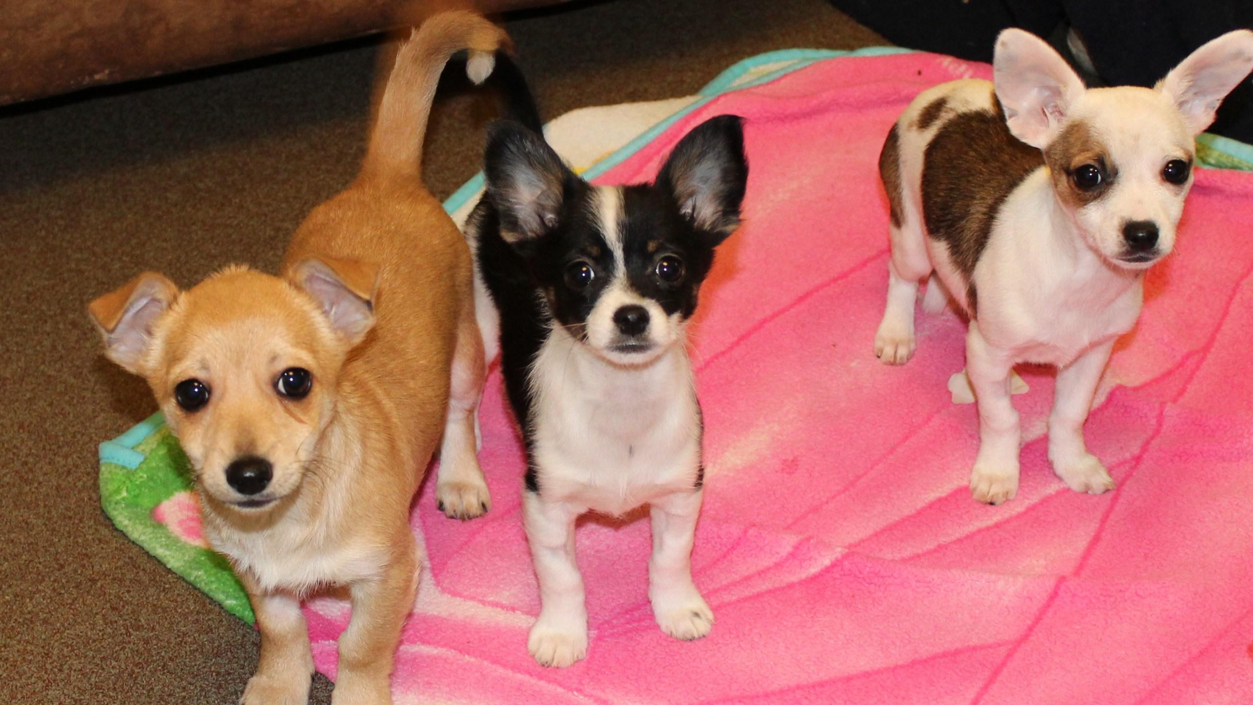 Three puppies from Jan 9%2c 2018 investigation_1523051477676.jpg.jpg