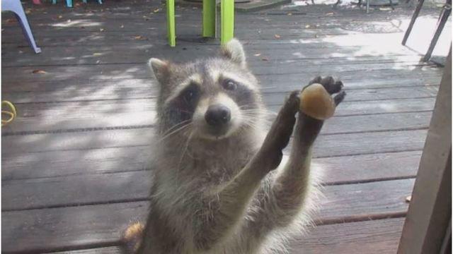 polite-raccoon_39557972_ver1.0_640_360_1524174119004.jpg