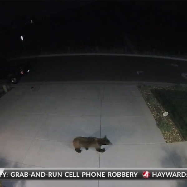 Neighbors concerned about bear sighting in Vacaville