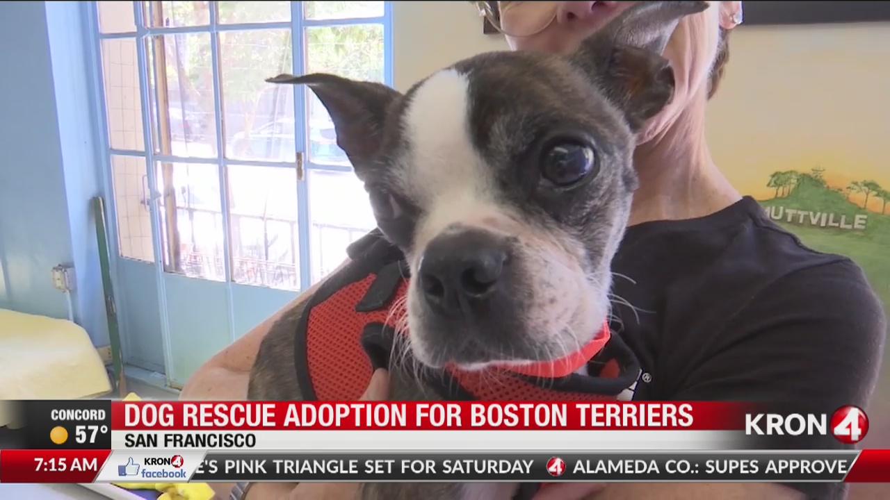 Adopt a Boston Terrier at SF dog rescue's Boston Tea Party event