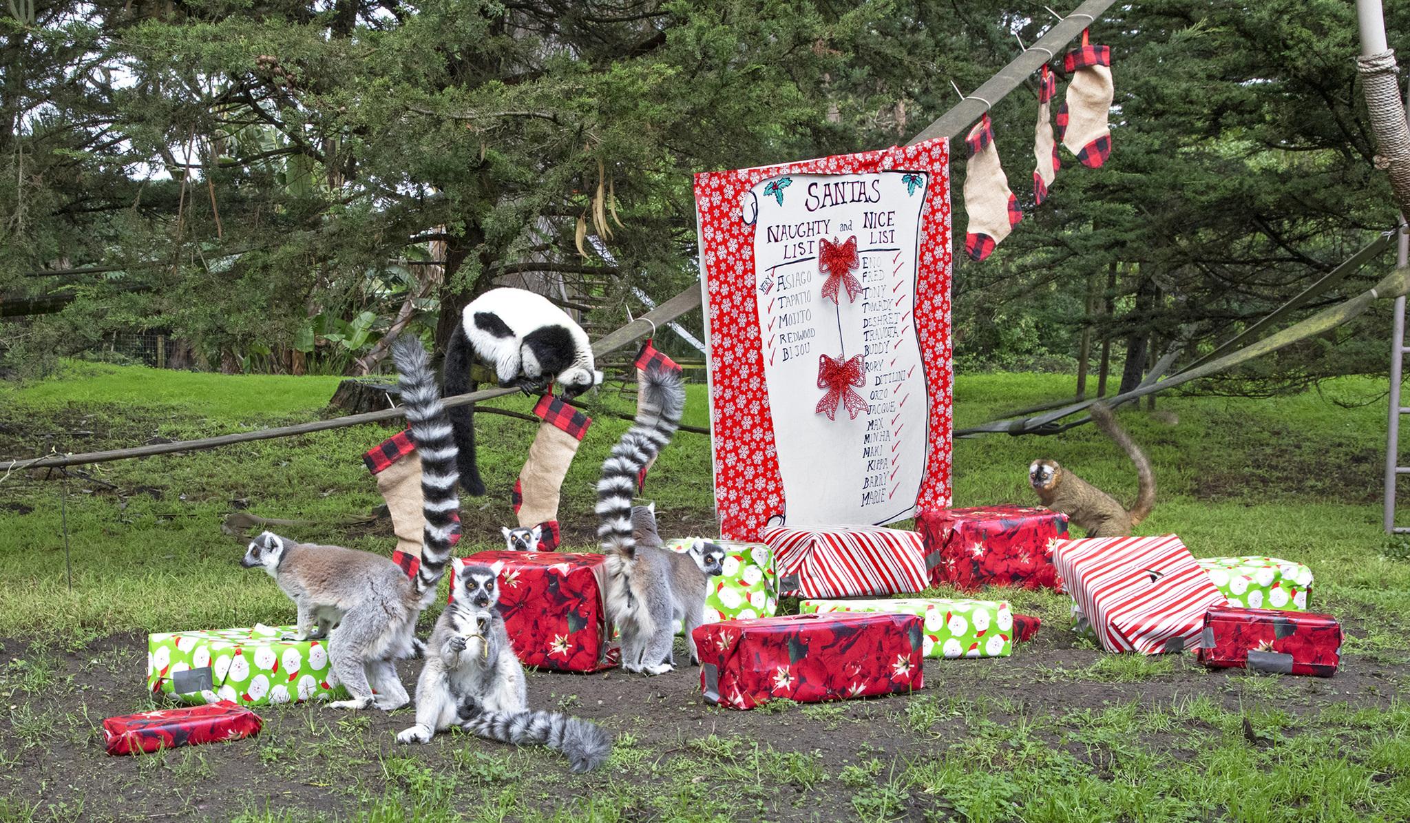 San Francisco Zoo animals receive holiday treats   KRON4