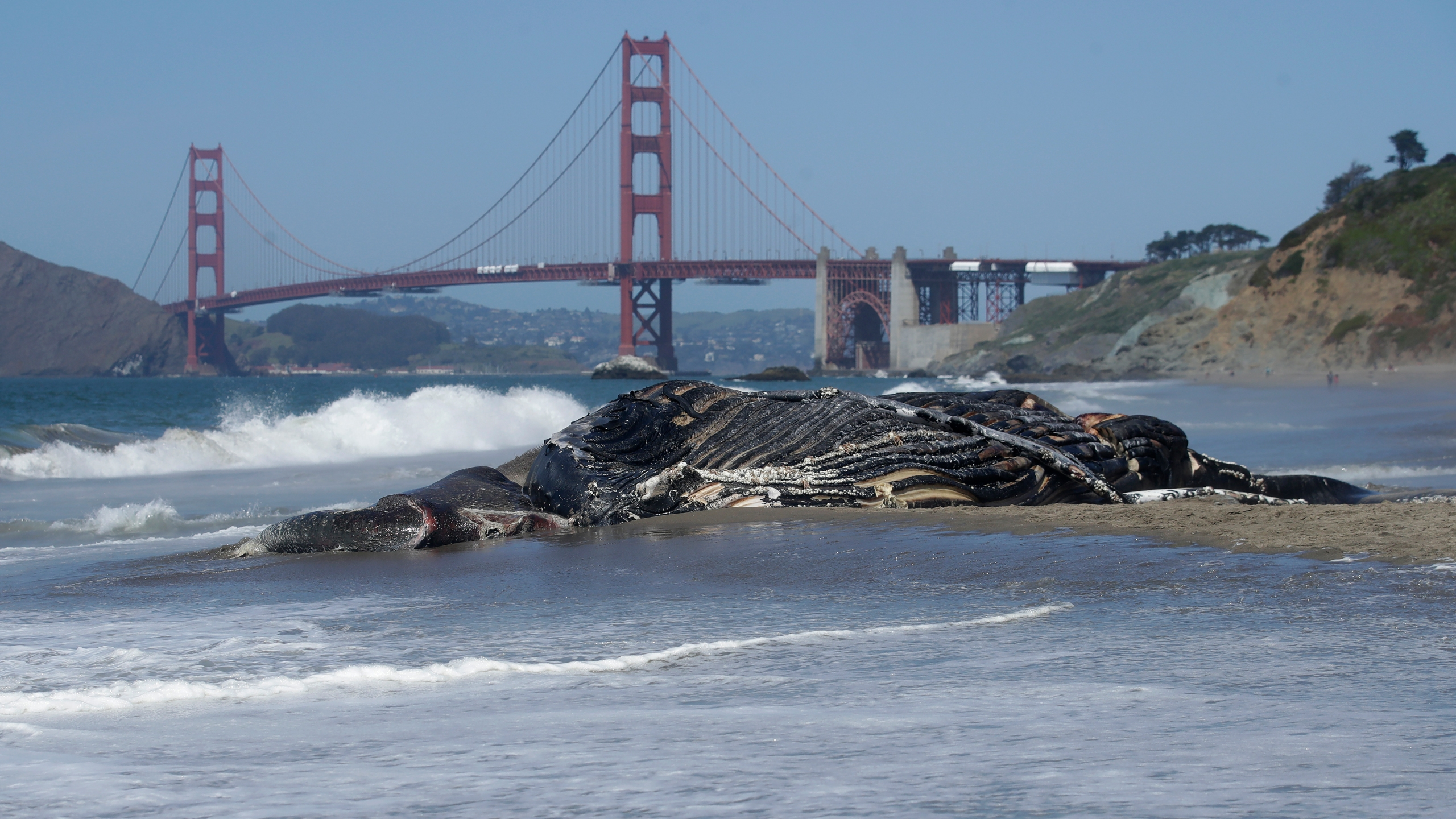 Humpback Whale Washes Up On San