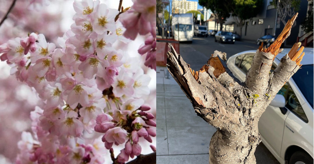 Cherry Blossom Trees In Sf S Japantown Destroyed Kron4