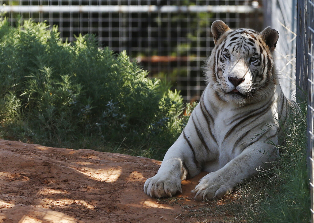 'Tiger King's' Jeff Lowe willing to give up big cats, lawyer says