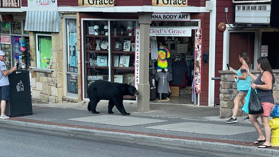 'Can you imagine?' Bear runs into Tennessee restaurant